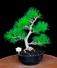 Japanese black pine  Mikawa  specimen bonsai tree  101