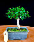 Chinese elm small leaf  shohin mame bonsai tree  6