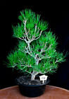Japanese black pine  Mikawa  specimen bonsai tree  112