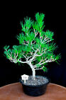 Japanese black pine  Mikawa  specimen bonsai tree  113