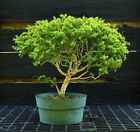 Kingsville Boxwood Bonsai Tree KB2G 830B