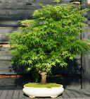 Bonsai Tree Japanese Maple Arakawa Corkbark Specimen JMAST 807A
