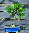 Bonsai Tree Japanese Maple Sharpes Pygmy JMSP 509A