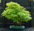 Bonsai Tree Japanese Maple Arakawa Corkbark Specimen JMAST 918C