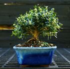 Harlandi Boxwood Bonsai Tree HB 1029C