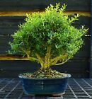 Harlandi Boxwood Bonsai Tree HB 1029M