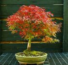Bonsai Tree Japanese Maple Sharpes Pygmy JMSP 1105C