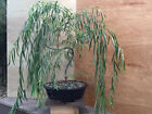 Bonsai Weeping Willow Tree Large Thick Trunk Live Plant Outdoor Yard Best Gift