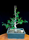 Chinese quince flowering fruiting specimen bonsai 110