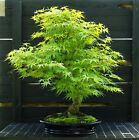 Bonsai Tree Japanese Maple Arakawa Corkbark Specimen JMAST 918A