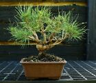 Bonsai Tree Japanese Black Pine JBP 1029B
