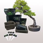 Traditional Bonsai Tree Starter Seed Kit Black Pine Wisteria