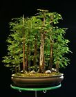 Bonsai Tree Specimen Dawn Redwood Grove DRGST11 830A