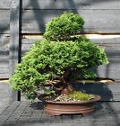 Specimen Bonsai Tree Hinoki Cypress HCST 809B