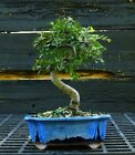 Bonsai Tree Chinese Elm CE 919B