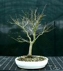 Bonsai Tree Japanese Maple Sharpes Pygmy JMSP 1215C