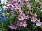 Butterfly Orchid Flower Angel Wings Schizanthus Mix colors 100 Seeds