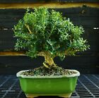 Harlandi Boxwood Bonsai Tree HB 1029I