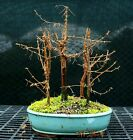Bonsai Tree Dawn Redwood Grove DRG5 1215B