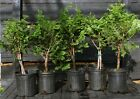 Bonsai Tree Hinoki Cypress HC5G1G 809B