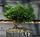 Bonsai Tree Hinoki Cypress HCB1G 809D