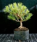 Bonsai Tree Japanese Black Pine JBP3G 1216B