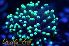 Strictly Fish Australian Torch Coral Live Coral