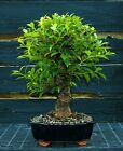 Golden Gate Ficus Indoor Bonsai Tree Tropical Import GGF 1030A