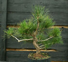 Bonsai Tree Japanese Black Pine JBP3G 1103E