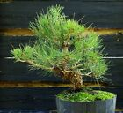 Bonsai Tree Japanese Black Pine JBP3G 220F