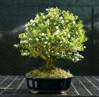 Harlandi Boxwood Bonsai Tree HB 128A