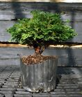 Bonsai Tree Hinoki Cypress HCB1G 809B