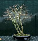 Bonsai Tree Japanese Maple Arakawa Corkbark Specimen JMAST 1215C