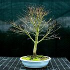 Bonsai Tree Japanese Maple Sharpes Pygmy JMSP 1215A