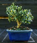 Harlandi Boxwood Bonsai Tree HB 1029D