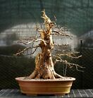 Bonsai Tree Dawn Redwood DRST 128