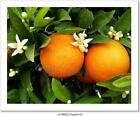 Two Oranges On Orange Tree Art Print Home Decor Wall Art Poster H