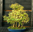 Bonsai Tree Specimen Trident Maple Grove 7 Trees TMSTG7 1105