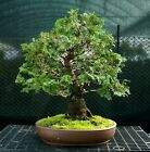 Specimen Bonsai Tree Hinoki Cypress HCST 1216C