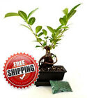 Live Ginseng Ficus Bonsai Tree Small Retusa Water Tray