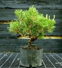 Pre Bonsai Tree Japanese Black Pine JBP1G 417A