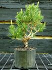 Pre Bonsai Tree Japanese Black Pine JBP1G 417B
