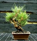 Bonsai Tree Japanese Black Pine JBP 417G