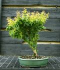 Bonsai Tree Japanese Maple Koto Hime KHM 417C