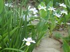White African Iris Fortnight Lily Dietes Iridioides 1 bulb/Rhzome