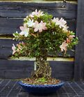 Bonsai Tree Exposed Root Satsuki Azalea Jukokan Specimen SAJST 429A