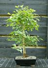 Bonsai Tree Trident Maple TM 429A