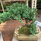 Juniper Bonsai Live Tree Easy To Care Indoor Outdoor