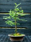 Bonsai Tree Dawn Redwood DR 515F