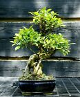 Golden Gate Ficus Indoor Bonsai Tree Tropical Import GGF 515C
